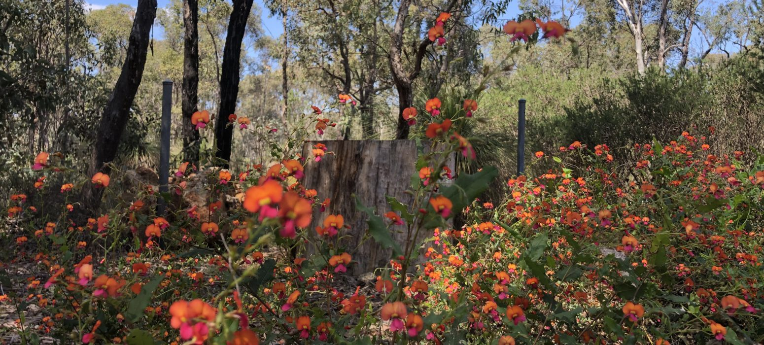 Looking at the orange and pink wild flowers in the Wooroloo National park on a Perth Hills Mountain Bike Tour.