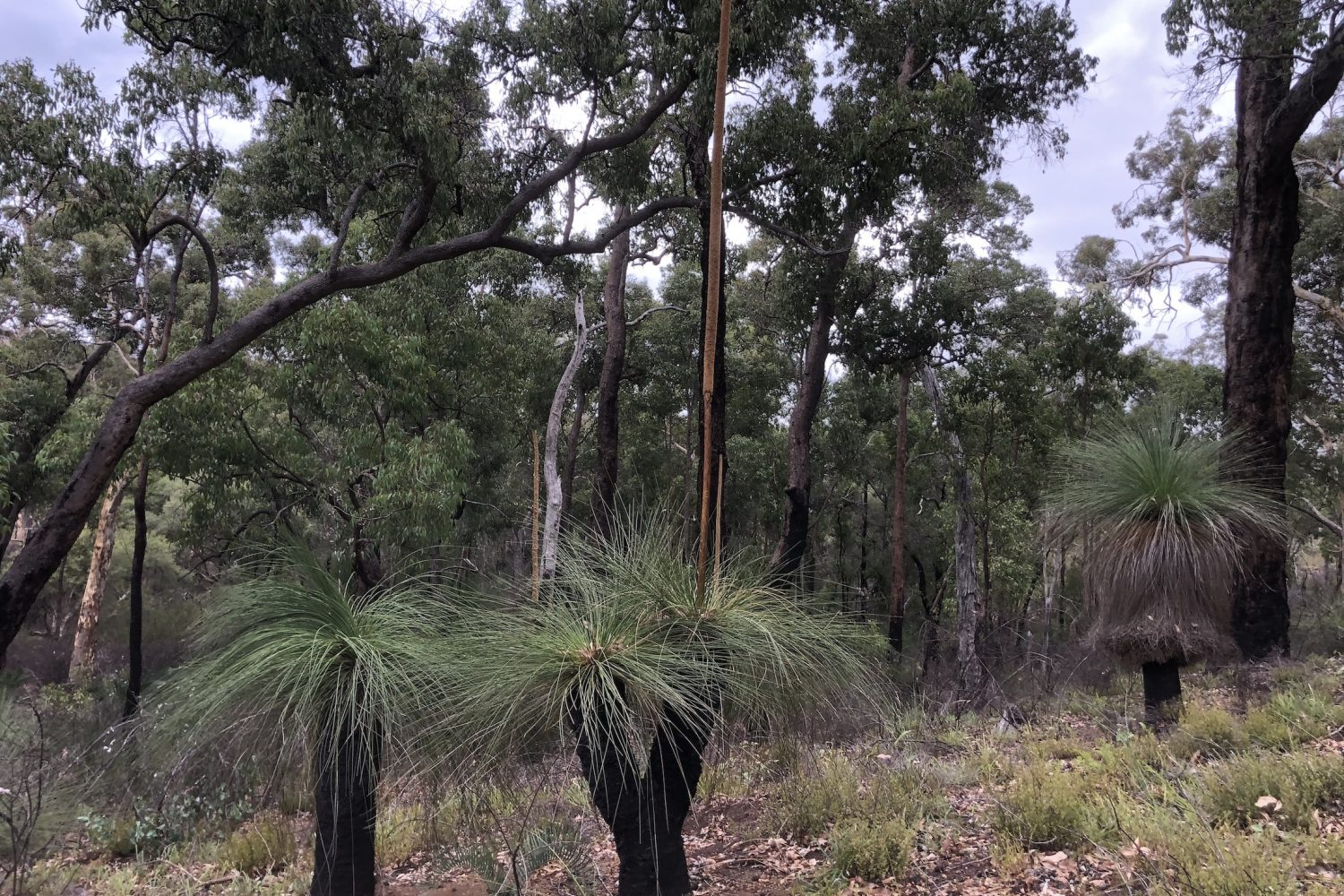 looking into a small valley at a group of Xanthorrhoea australis in the John Forrest National Park on a trail used by the Perth Hills Mountain Bike Tours.